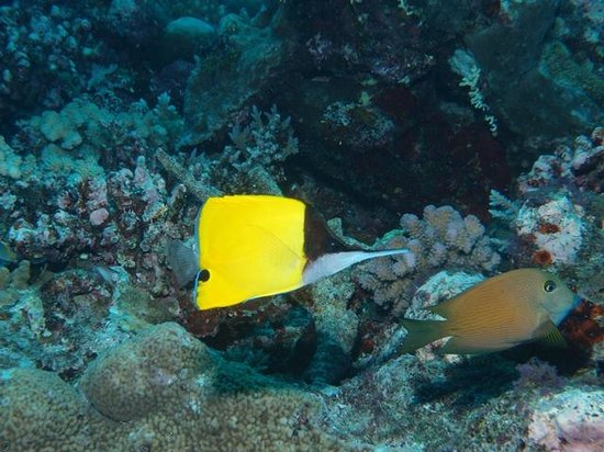 Tranquillity Island Resort & Dive Base: Long Beaked Butterflyfish