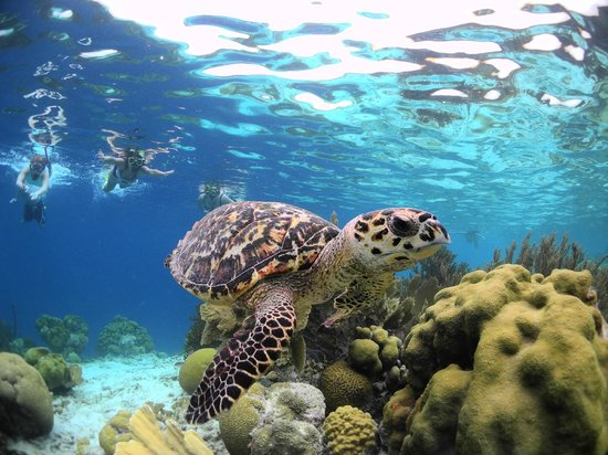Woodwind Sailing & Guided Snorkel: lovely turtles!