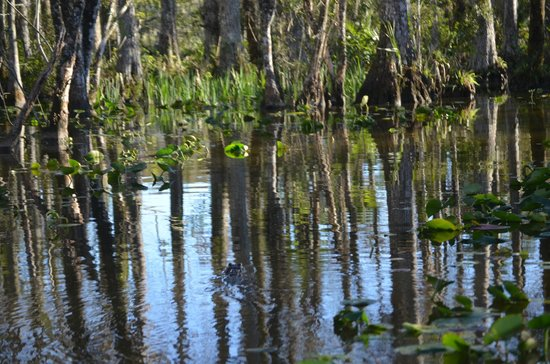 Billie Swamp Safari: Alligator swims infromt of us in swamp