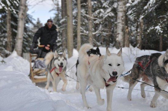 Aventure du Husky: chien en action