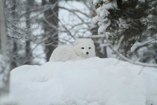 Whitehorse, Kanada: arctic fox at wildlife preserve