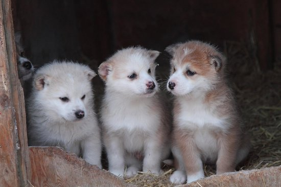 Whitehorse, Kanada: Husky puppies at Muktuk Adventures