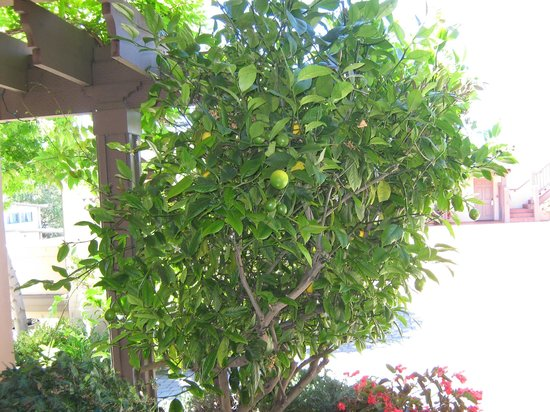 Horizon Inn & Ocean View Lodge: Plesant Lime tree at front entrance