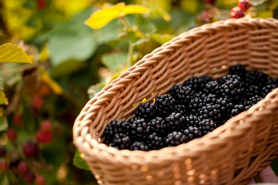 Brampton Bed and Breakfast Inn: Blakberries from the Garden