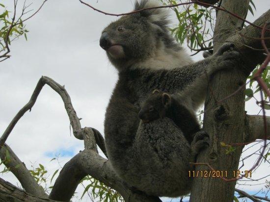Lathami Lodge: Koala