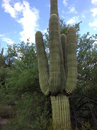 Western Destinations Canyon Creek Ranch - Tours: Very old saguaro
