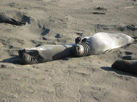 Piedras Blancas: Sunning Seals at San Simeon State Park
