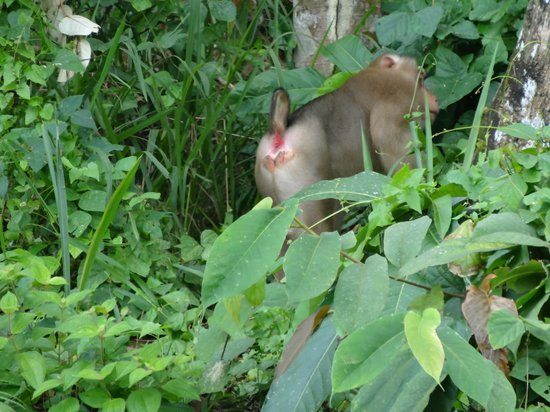 Tabin Wildlife Resort: Macaque