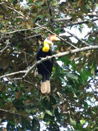 Tabin Wildlife Resort: Wrinkled hornbill (I think!)