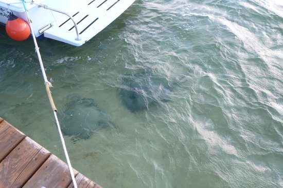 Grand Caribe Belize Resort and Condominiums: Always some rays off the dock at the resort