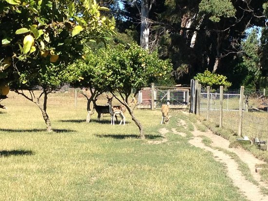St Leonards Vineyard Cottages: Deer!