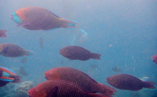 Kuramathi Island Resort: Fish!!
