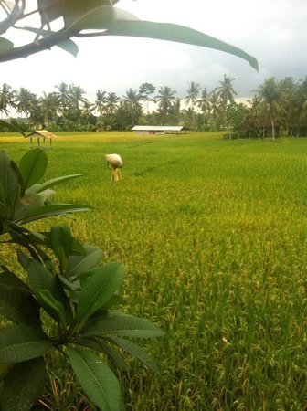Lodtunduh Sari: Rice paddy outlook