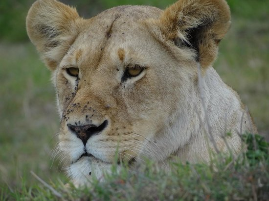 Tunda Day Tours: Beautiful lioness