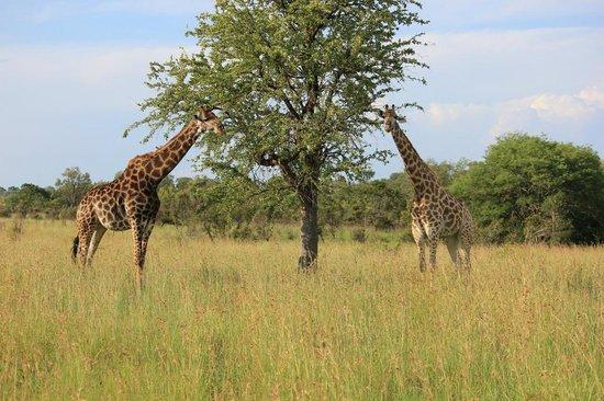 Tydon Safari Camp: giraffe