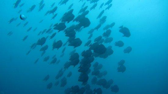 Ellaidhoo Maldives by Cinnamon: Schwarm Fledermausfische