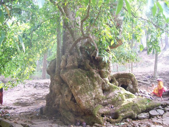 Bandipur, Indien: A champaka tree - estimated to be over 150 years