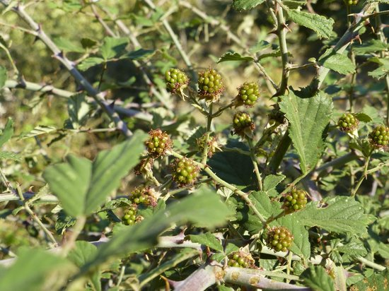 Richtis Gorge: we eat the ripe ones ;)