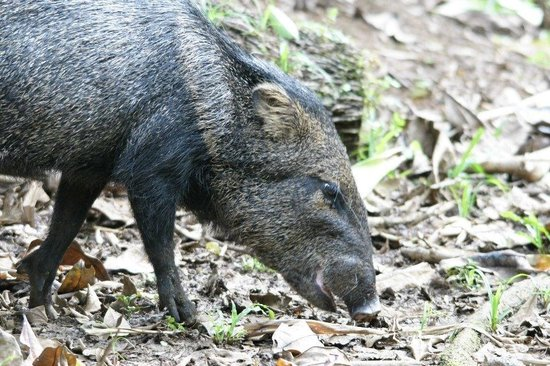 La Selva Biological Station: This cute little Peccary came right up to us while we were birding.