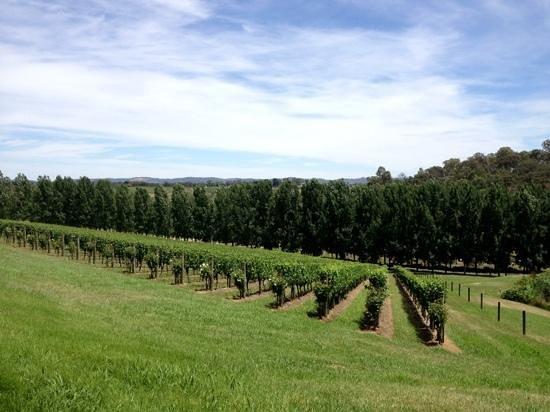 Yarra Valley, Australien: grapes