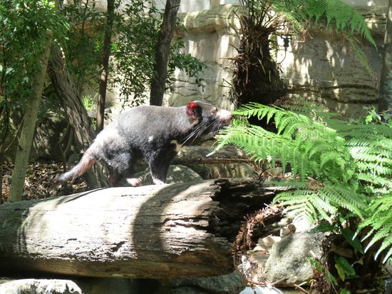 Currumbin Wildlife Sanctuary: Tasmanian Devil