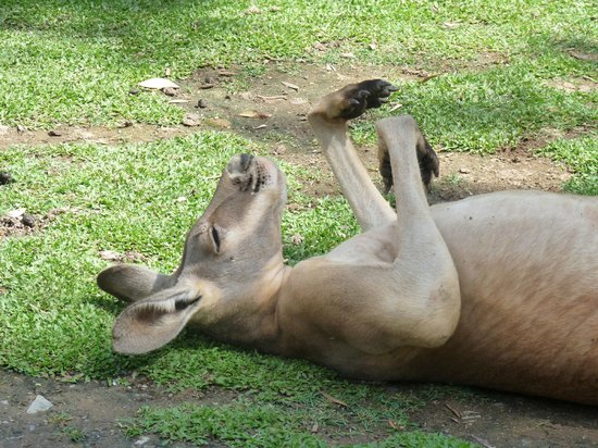 Currumbin Wildlife Sanctuary: Lazy kangaroos