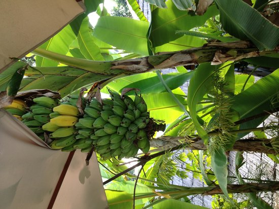 My Dream Boutique Resort : Banana tree at poolside