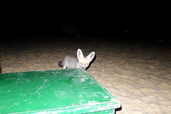 White Desert: our curious visitor at night
