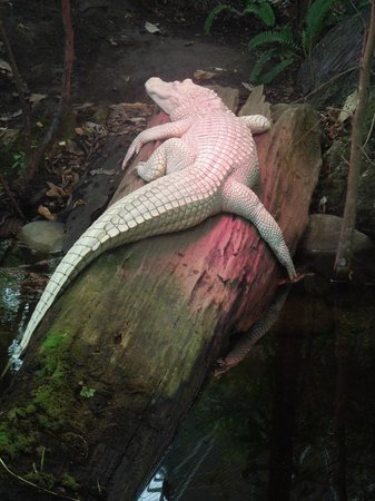 North Carolina Aquarium At Fort Fisher Albino Alligator