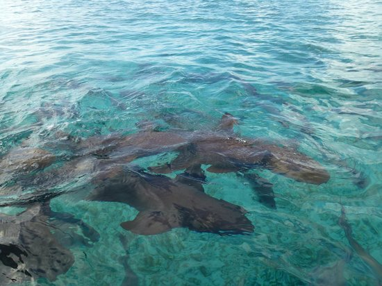 Tranquility Bay Resort: Nurse Shark at Shark Ray Alley
