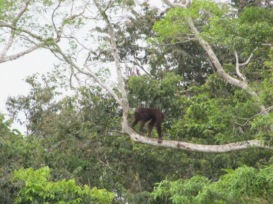 The Last Frontier Boutique Resort: Spotted during the boat trip: orang utan!