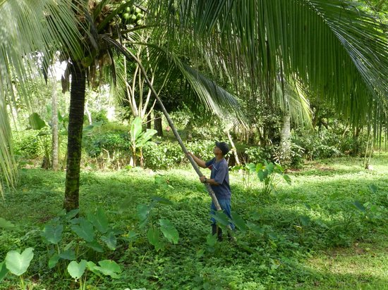 Soposo Rainforest Adventures: Max knocking coconuts off the tree so we ...