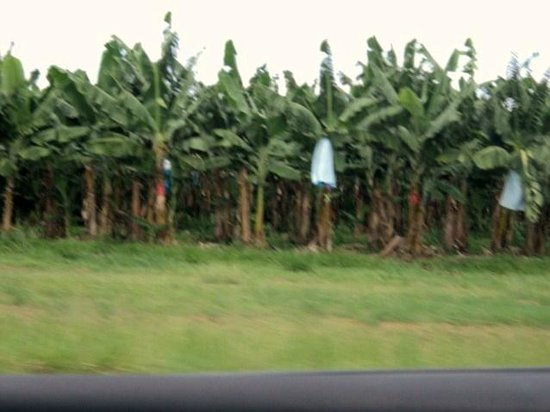 Mission Beach: Banana plantation