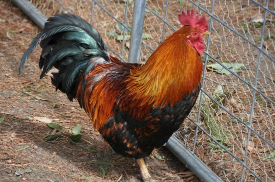 Paul's Place Wildlife Sanctuary: One of the Roosters