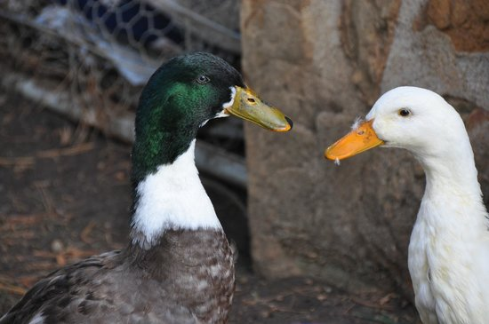 Paul's Place Wildlife Sanctuary: Two of the many ducks