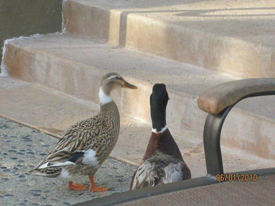 Humphreys Half Moon Inn: The pair of ducks that hang out by the pool :)