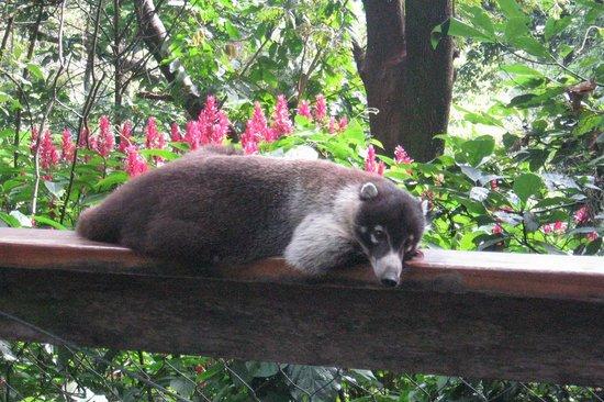 Reserva Natural Atitlan: Coati