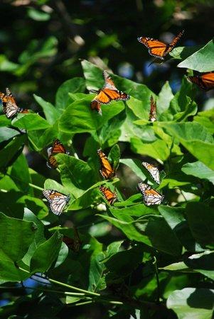 Coastal Chalet Suites: Monarch Butterflies