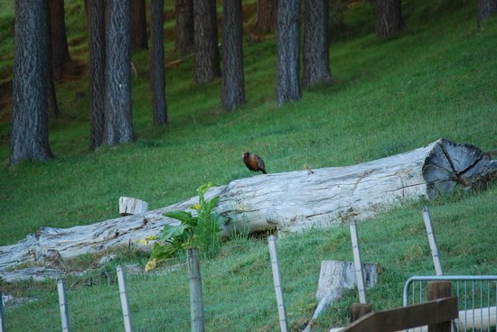 Coastal Chalet Suites: Our resident male pheasant