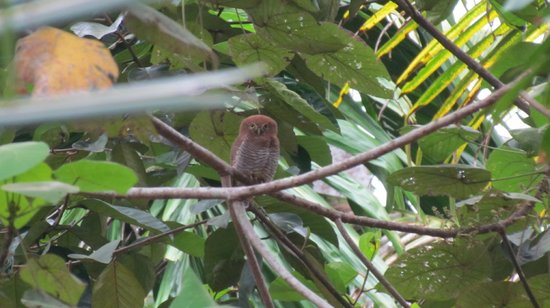 Kollam, Indie: Jungle Owlet
