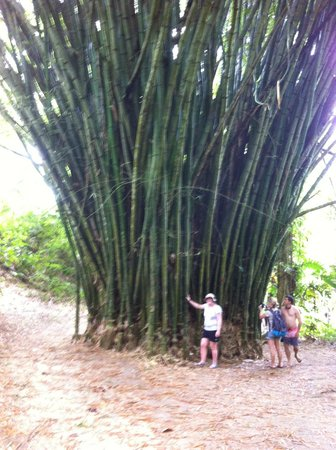Mele Cascades : Bambo Tree