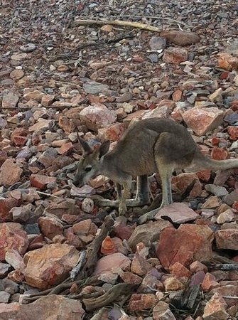 Lake Argyle Cruises: wallaby