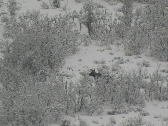 Canyons Grand Summit Hotel: female moose come down the mountain during morning snow