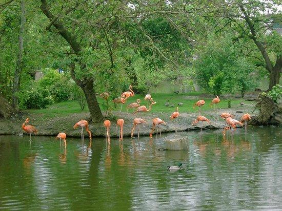 St. Louis Zoo: Flamingos on North lake