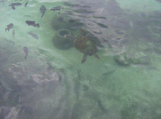 Florida Oceanographic Coastal Center: Turtles and fish in the lagoon
