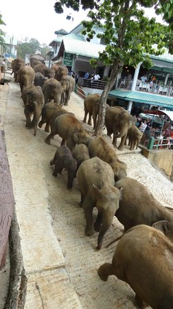Pinnawala Elephant Orphanage: Elephants going down to the river for their daily bath
