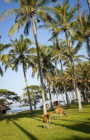Jeeva Klui Resort: Cows grazing next to Jeeva Klui