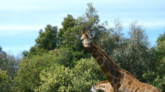 Werribee Open Range Zoo: Hello stranger!
