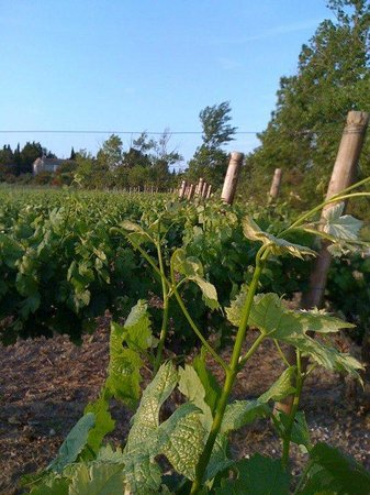 O'Vineyards Bed & Breakfast - Carcassonne: The vines
