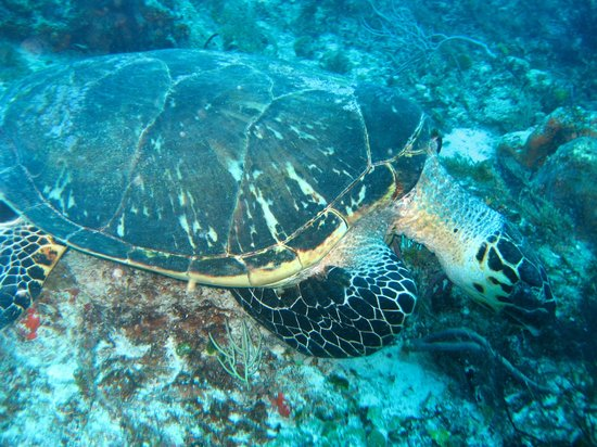 Turtle picture of dive shop mexico playa del carmen - Dive shop mexico ...